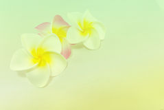 Plumeria flowers  in soft color,. Made with blur style for background Stock Image