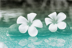 Plumeria Flowers and Stones at Edge of Pool Stock Photos