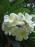 Plumeria flowers Stock Photo