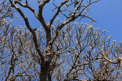 Plumeria flowers on the tree stock image