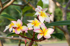 Plumeria flowers on tree. Background flower holiday plumeria yellow Royalty Free Stock Images