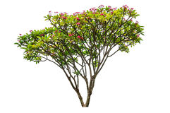 Plumeria flowers tree. Isolated on white background Royalty Free Stock Photo