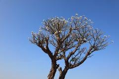 Plumeria flowers on the tree stock photography