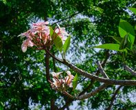 Plumeria flowers on tree royalty free stock image