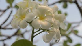 Plumeria flowers stock footage