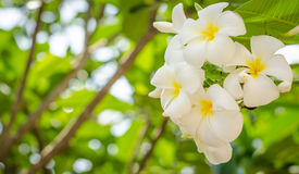 Plumeria flowers on the tree Stock Photos