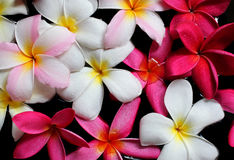 Plumeria flowers on water Royalty Free Stock Image