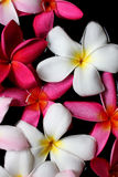 Plumeria flowers on water Stock Photos