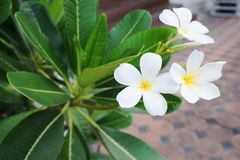 The Plumeria flowers. Royalty Free Stock Photos