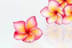 Plumeria flowers. On white background Royalty Free Stock Photos