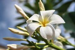 Plumeria  flowers. White Plumeria flowers blue sky background Royalty Free Stock Images