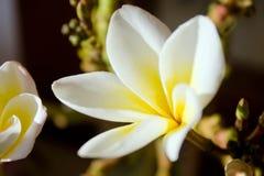 Plumeria flowers. White plumeria flower in detail Stock Photos
