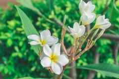 Plumeria flowers white Stock Images