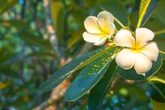 Plumeria flowers are white and yellow blooming on the trees in t. He afternoon. Provides a sense of relaxation and fragrance when approaching Royalty Free Stock Images