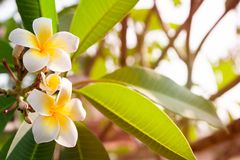 Plumeria flowers are white and yellow blooming on the trees in t. He afternoon. Provides a sense of relaxation and fragrance when approaching Royalty Free Stock Photography