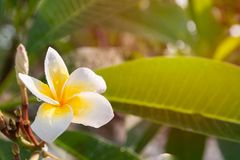 Plumeria flowers are white and yellow blooming on the trees in t. He afternoon. Provides a sense of relaxation and fragrance when approaching Stock Photography