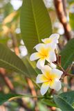 Plumeria flowers are white and yellow blooming on the trees in t. He afternoon. Provides a sense of relaxation and fragrance when approaching Stock Image