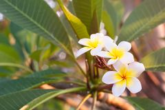 Plumeria flowers are white and yellow blooming on the trees in t. He afternoon. Provides a sense of relaxation and fragrance when approaching Royalty Free Stock Photos