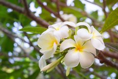 Plumeria flowers are white and yellow blooming on the trees in t. He afternoon. Provides a sense of relaxation and fragrance when approaching Stock Photo