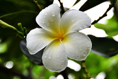 Plumeria flowers Stock Photography