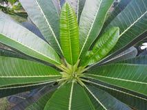 Plumeria, folhas do Frangipani Imagem de Stock Royalty Free