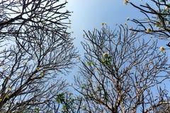 Plumeria forest Stock Image