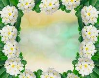 Plumeria frame Stock Photo
