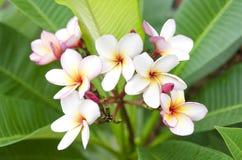 Plumeria (frangipane) Fotografie Stock