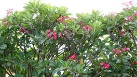 Plumeria, frangipane, albero di tempio Fotografia Stock