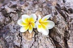 Plumeria Frangipani και γλυκά λουλούδια στο ξύλινο χρώμα και sharpn Στοκ εικόνες με δικαίωμα ελεύθερης χρήσης
