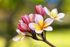 plumeria frangipani λουλουδιών κλάδων Στοκ εικόνες με δικαίωμα ελεύθερης χρήσης