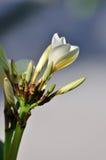 plumeria frangipani λουλουδιών οφθαλ&mu Στοκ Εικόνες