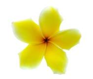plumeria frangipani λουλουδιών τροπικό Στοκ Εικόνες