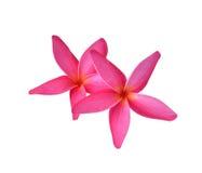 plumeria frangipani λουλουδιών τροπικό Στοκ εικόνα με δικαίωμα ελεύθερης χρήσης