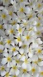 plumeria frangipani λουλουδιών τροπικό Στοκ Φωτογραφίες