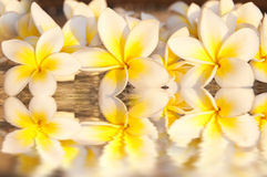 plumeria frangipani λουλουδιών Στοκ Εικόνες