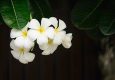 Plumeria Frangipani, στο άσπρο χρώμα Στοκ εικόνες με δικαίωμα ελεύθερης χρήσης