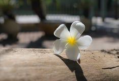 Plumeria Frangipani, στο άσπρο ύφος χρώματος και θαμπάδων Στοκ εικόνες με δικαίωμα ελεύθερης χρήσης