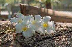 Plumeria Frangipani, στο άσπρο ύφος χρώματος και θαμπάδων Στοκ φωτογραφία με δικαίωμα ελεύθερης χρήσης