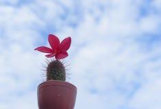 Plumeria Frangipani, στο ρόδινο χρώμα και skystyle για Στοκ εικόνες με δικαίωμα ελεύθερης χρήσης