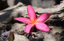 plumeria frangipani, στο ρόδινο ύφος χρώματος και θαμπάδων Στοκ Εικόνα