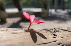 plumeria frangipani, στο ρόδινο ύφος χρώματος και θαμπάδων Στοκ Φωτογραφία