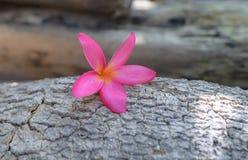 plumeria frangipani, στο ρόδινο ύφος χρώματος και θαμπάδων Στοκ Εικόνες