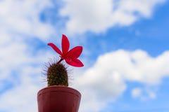 Plumeria Frangipani, στο ρόδινο ύφος χρώματος και ουρανού Στοκ φωτογραφία με δικαίωμα ελεύθερης χρήσης