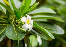 Plumeria frangipani белого цветка, тропический завод при покрытые листья длинного зеленого цвета Стоковое Изображение
