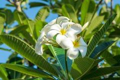 Plumeria (frangipani) цветет на дереве Стоковые Фотографии RF