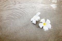 Plumeria (frangipani) цветет на пляже Стоковое Фото