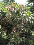 Plumeria Frangipani royalty-vrije stock foto's