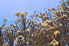 plumeria frangipani Στοκ φωτογραφία με δικαίωμα ελεύθερης χρήσης