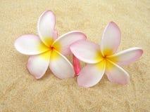plumeria frangipani Стоковое Изображение